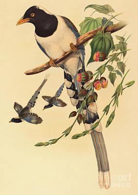 Blue Magpie, Urocissa Magnirostris Poster