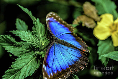 Blue Morph Butterfly Poster by Andrew Brixey
