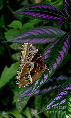 Blue Morpho Butterfly Poster by Skip Willits