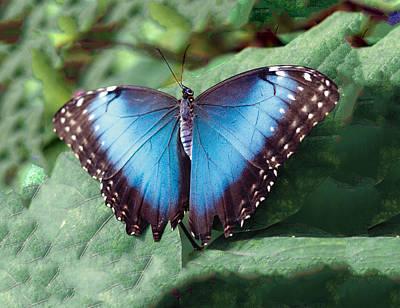 Blue Morpho Butterfly Poster