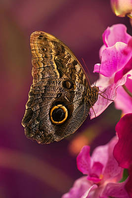 Blue Morpho Butterly On Pink Flowers Poster by Jaroslaw Blaminsky
