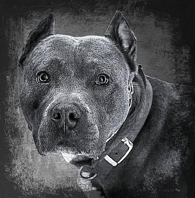 Blue Nose Pitbull Poster
