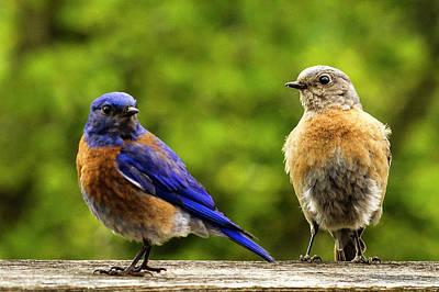 Bluebird Pair Poster by Jean Noren