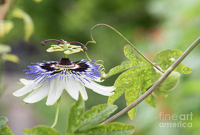 Blue Passion Flower In An English Garden Poster