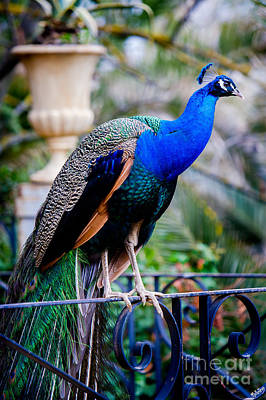 Blue Peafowl Poster