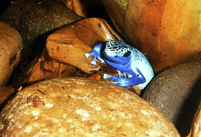 Poster featuring the photograph Blue Poison Dart Frog by Anthony Jones