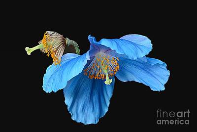 Blue Poppies Poster