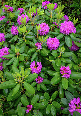 Blue Ridge Mountains Rhododendron Blooming Poster