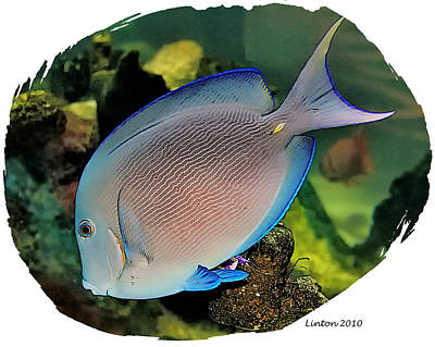Blue Tang Poster by Larry Linton