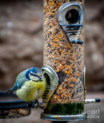 Blue Tit Poster by Adrian Evans