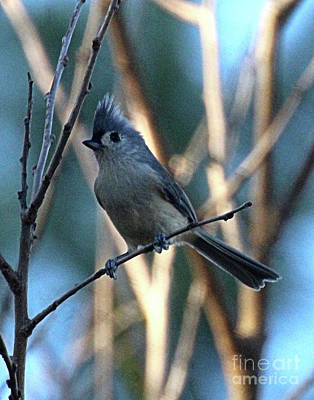 Blue Tufted Titmouse  Poster