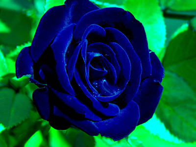 Blue Velvet Rose Poster by Samantha Thome