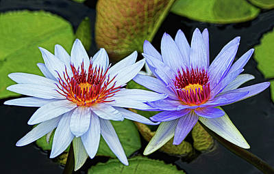Poster featuring the photograph Blue Water Lilies by Judy Vincent