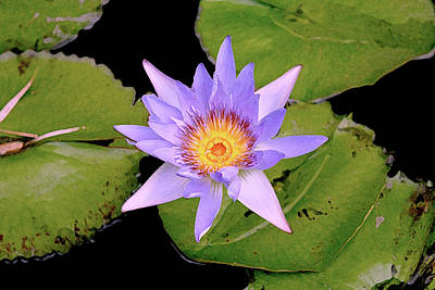 Blue Water Lily Poster