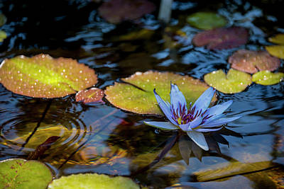 Blue Water Lily Pond Poster