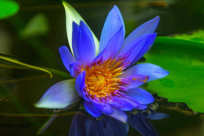 Blue Waterlily In Pond Poster