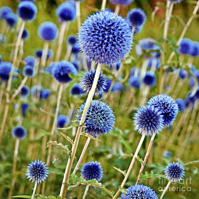 Blue Wild Thistle Poster