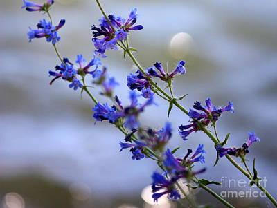 Blue Wildflowers Over Rimrock Lake Poster by Carol Groenen