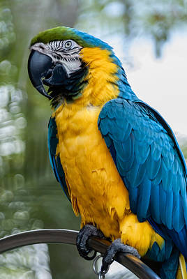 Blue Yellow Macaw No.1 Poster by Mark Myhaver