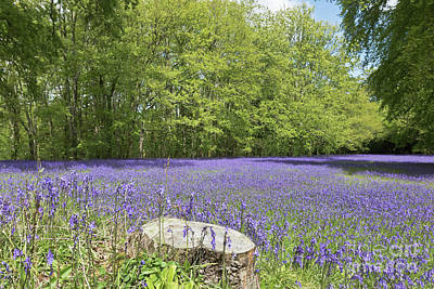 Bluebell Carpet Poster