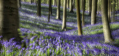 Bluebell Forest Color Explosion Poster by Dirk Ercken