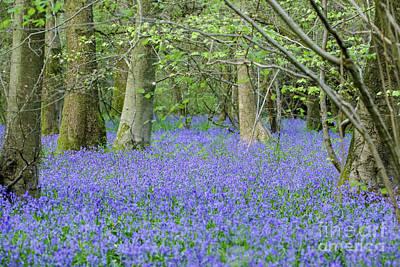Bluebell Woodland Hyacinthoides Non-scripta, Surrey , England Poster