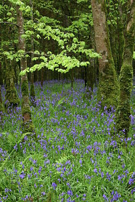 Bluebell Woods Poster by Martina Fagan