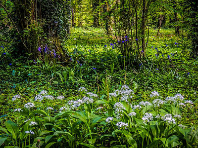 Bluebells And Wild Garlic At Coole Park Poster