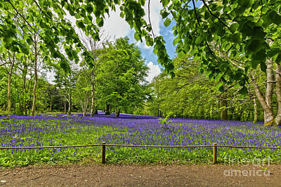 Bluebells At Enys Poster
