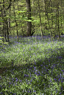 Bluebells Flowering In Wood Beside Former Colliery Tramway Now Footpath  Poynton Cheshire England Poster by Michael Walters