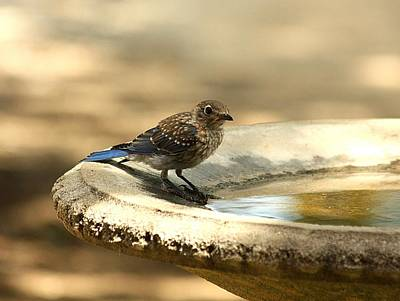 Poster featuring the photograph Bluebird Bath Time by Sheila Brown