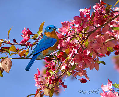 Bluebird In Apple Blossoms Poster