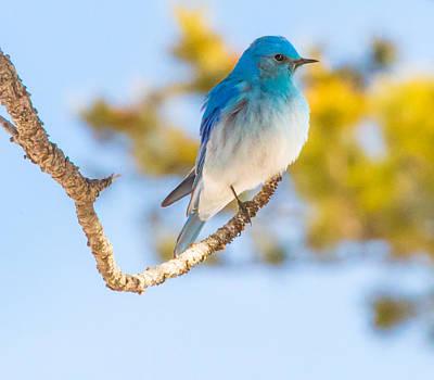 Bluebird In Spring Poster