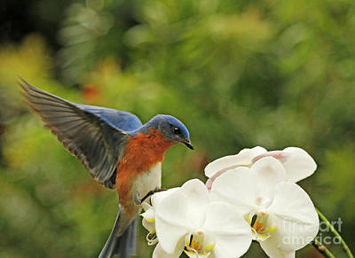 Bluebird Landing On Orchid Poster