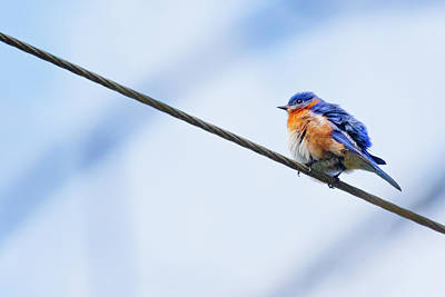 Poster featuring the photograph Bluebird Of Happiness by Linda Unger