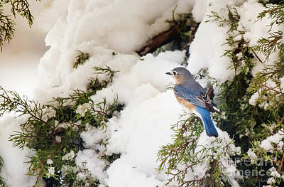 Bluebird On Snow-laden Cedar Poster by Robert Frederick