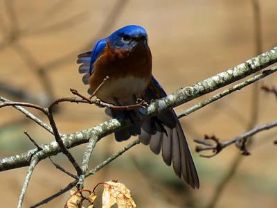 Bluebird Stretching Poster by Dianne Cowen