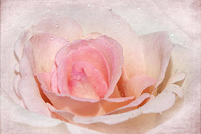 Blush Pink Dewy Rose Poster by Phyllis Denton