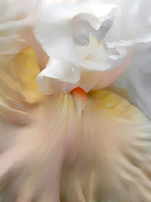 Blushing Peach Iris Flower Poster