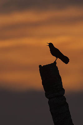 Boat-tailed Grackle At Sunset Poster