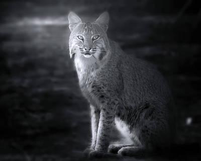 Bobcat In The Mist Poster