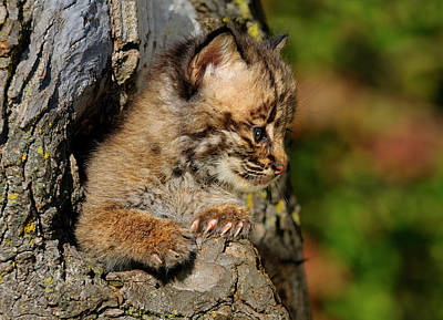 Bobcat Kitten Looking Out From A Hollow Tree Den In An Autumn Fo Poster