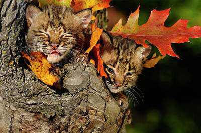 Bobcat Kitten With Eyes Closed Licking Nose In A Tree Hollow Den Poster
