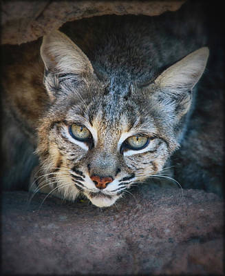 Bobcat Stare Poster by Elaine Malott