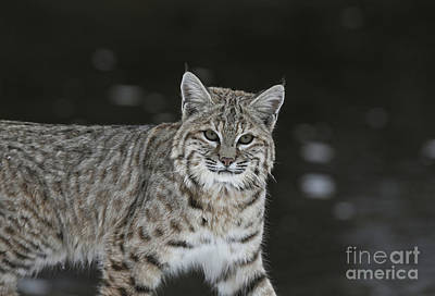 Bobcat Walks By The Stream Poster