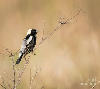 Poster featuring the photograph Bobolink  by Ricky L Jones