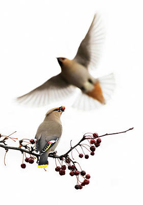 Poster featuring the photograph Bohemian Waxwings by Mircea Costina Photography