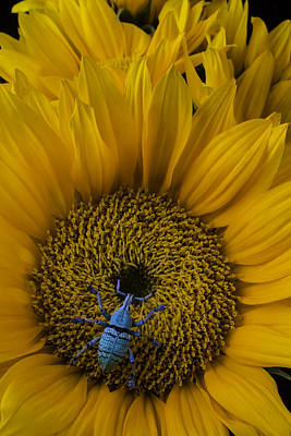 Boll Weevil On Sunflower Poster by Garry Gay