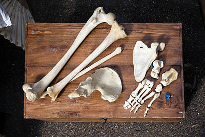 Bones And Skull Of An Unknown Animal  Poster by Elena Rostunova
