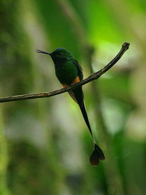 Booted Raquet-tail Poster by Aaron Rushin